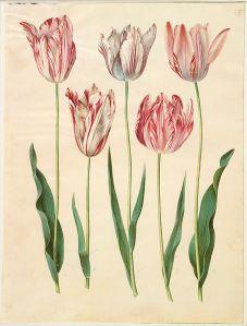 454px-Tulipa_gesneriana_(Gottorfer_Codex,_bind_1,_planche_55)